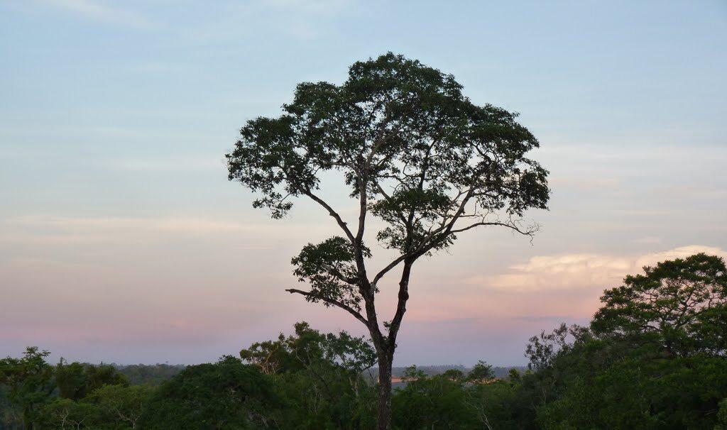 El Palorosa es un árbol de hasta 30 m de altura y 2 m de diámetro. Su copa es estrecha y ovalada; es aromático en todas sus partes